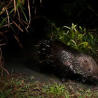 Indian Crested Porcupine (Hystrix indica) at night, Diyasaru Park, Colombo, Sri Lanka