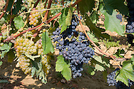 Red and white grapes growing in a vineyard near Montalcino, Tuscany, Italy