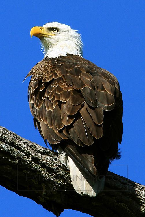 A majestic bald eagle sits on a tree limb near a lake in Minneapolis