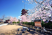 A japanese five storied pagoda located in Hirosaki northern Japan. It is spring time and surrounded with cherry blossoms.