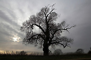One of Britain's rarest native trees. Male Black Poplar tree - populus nigra, Suffolk, England