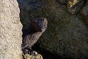 American Mink (Neovison vison), Seawall, Mount Desert Island, Maine