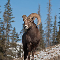 rocky mountian bighorn sheep, creek rocky mountains background wild rocky mountain big horn sheep