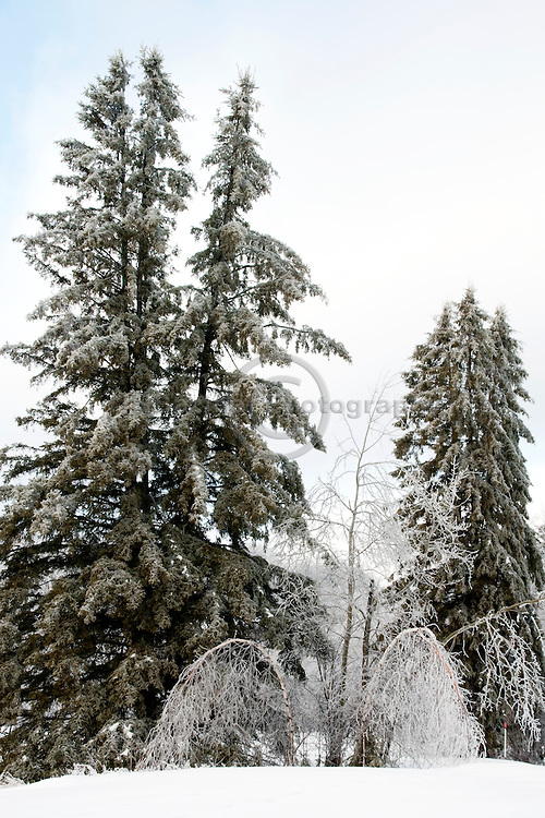 A group of trees bear the heavy weight of ice on their branches.