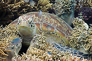 Green Turtle (Chelonia mydas) resting in coral reef - Agincourt reef, Great Barrier Reef, Queensland, Australia.