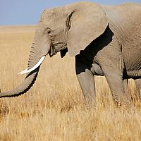 Africa, Kenya, Amboseli. Mother and baby elephant of Amboseli.
