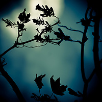 Silhouette of leaves in autumn against a blue background