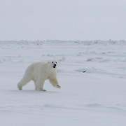 Polar bear shot with a dart filled with an immobilizing drug. The bear is showing signs of ataxia. Beaufort Sea, Alaska