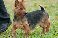 Australian Terrier competing at the conformation event during the AKC sanctioned Hickories Circuit Dog Show in August of 2013
