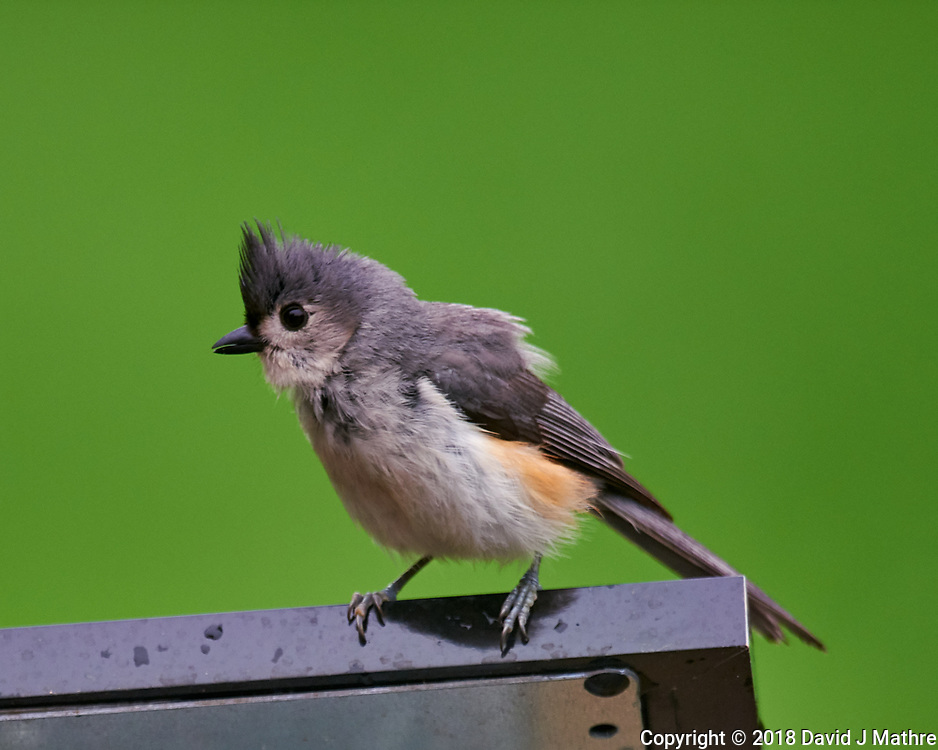 Tufted Titmouse. Image taken with a Nikon D810a camera and 600 mm f/4 VR telephoto lens.