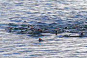 Gentoo penguins (Pygoscelis papua) on Danco Island or Isla Dedo an island off Antarctica, 1 nautical mile (2 km) long lying in the southern part of Errera Channel,