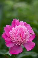 Paeonia, a pink peony in the garden at Hardy's Cottage, Higher Brockingham, Dorset, UK