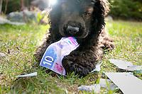 Marley the cocker spaniel chews on a ten-dollar Canadian bill.