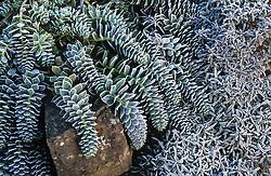 Hoar frost on Euphorbia myrsinites