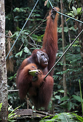 An orangutan during a visit by the Prince of Wales to the Sarawak Semenggoh Wildlife Rehabilitation Centre in Kuching, Malaysia.