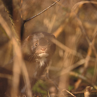 American mink River Thames. UK