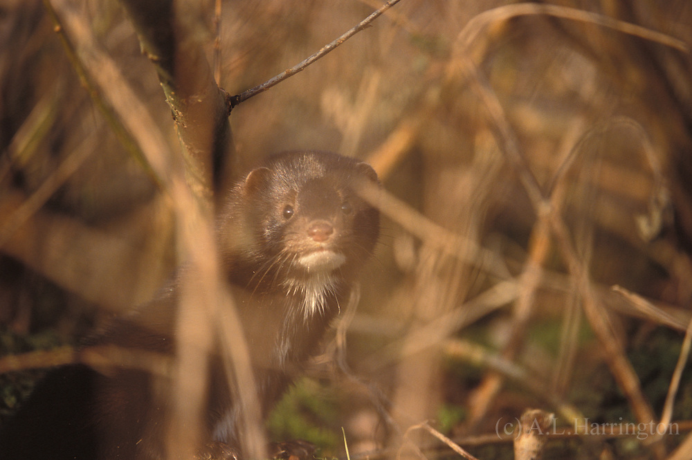 The Merry Mink, Ted  Hughes<br />                       -the Arctic Indian's<br />                          <br /> Black bagful of hunter's medicine-<br /> Now has to shift for himself.<br /> Since he's here, he's decided to like it.<br /> Now it is my turn, he says,<br /> To enjoy my pelt uselessly.<br /> I am the Mighty Northern Night, he says,<br /> In my folktale form.<br /> See, I leave my stars at the river's brim.<br /> Little Black Thundercloud, lost from his mythology,<br /> A-boil with lightnings<br /> He can't get rid of. He romps through the damsons<br /> (Each one like a constellation), topples into the river,<br /> Jolly goblin, realist-optimist<br /> (Even his trapped, drowned snake-head grins)<br /> As if he were deathless. Bobs up<br /> Ruffed with a tough primeval glee. Grams trout, nine together,<br /> Into his bank-hole-his freezer-<br /> Where they rot in three days. Makes love <br /> Eight hours at a go.<br />                  My doings and my pelt,<br /> He says, are a Platonic idea<br /> Where I live with God.