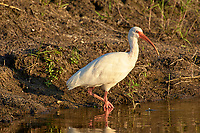 Arthur R. Marshall Loxahatchee National Wildlife Reserve, Wellington, Florida, USA. White Ibis (Eudocimus albus).