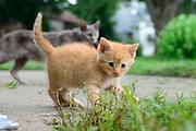 Domestic Shorthair tabby kitten. Columbus, Ohio, USA. July 2014