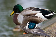 Mallard duck with broken wing, River Windrush, Burford, UK. Feral birds may be at risk from Avian Flu bird flu virus.