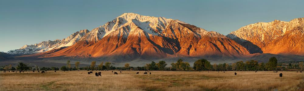 Cattle graze in field below Mount Tom in the Round Valley, Eastern Sierra, California