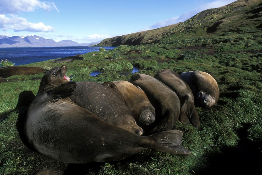South Georgia Island, Grytviken, Elephant seals (Mirounga leonina) rest along Cumberland Bay in summer sun