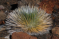 Haleakala Silversword Plant. Image taken in Haleakala National Park. Image taken with a Nikon D3x and 70-300 mm VR lens (ISO 100, 220 mm, f/8, 1/640 sec)