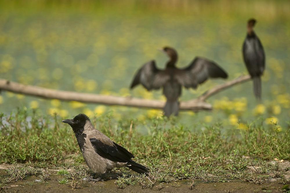 Two Pygmy Cormorant (Phalacrocorax pygmeus) and a Hooded Crow (Corvus cornix) on the lake shore in Hortobagy National Park, Hungary