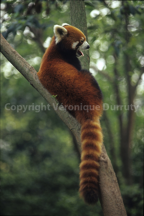 This endangered abimal is originary from Sichuan and Himalaya.