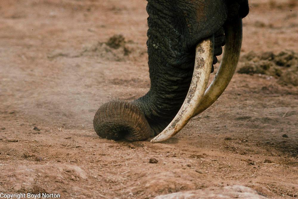 Using tusk to loosen salt laden soil to eat