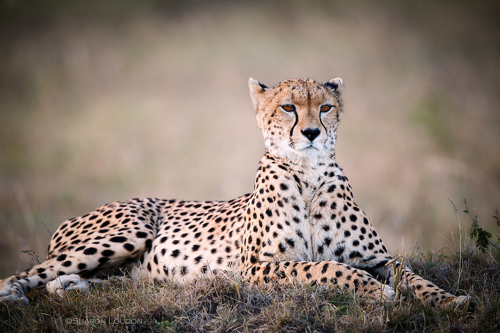 Cheetah mother known as Malaika, Maasai Mara