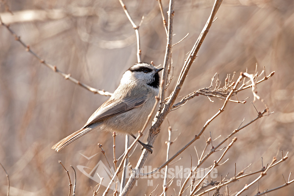 A Mountain Chickadee checks bare branches in February for buds and seeds it is still cold and spring is weeks away.