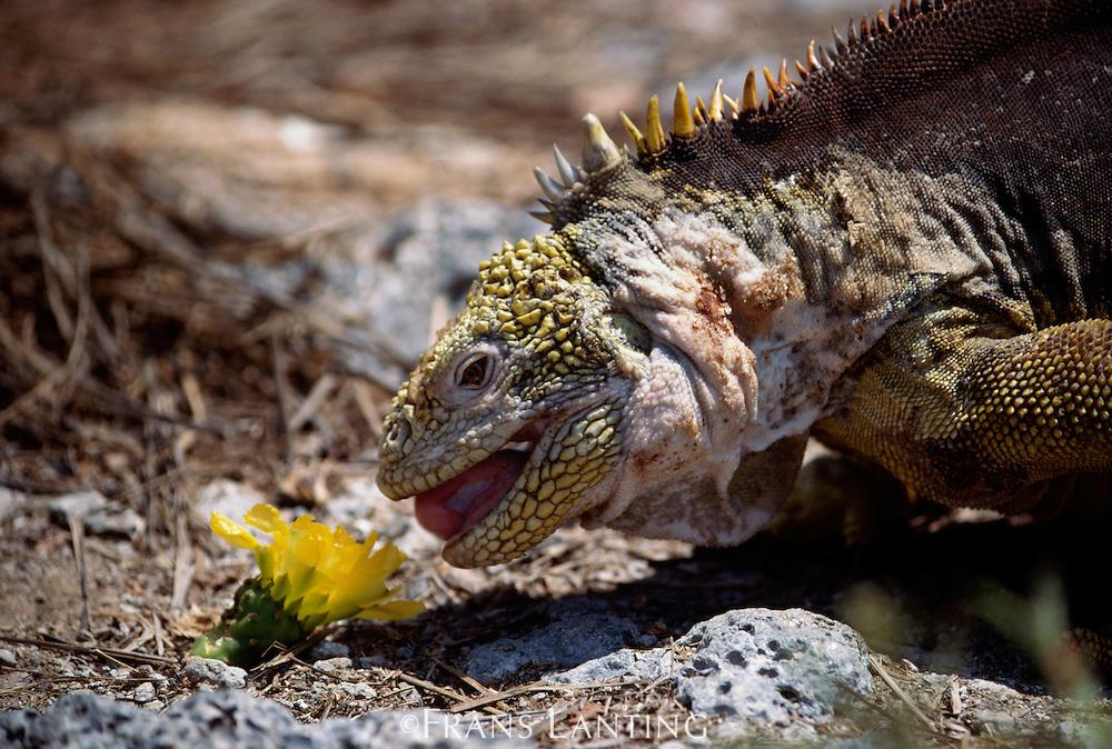 Land iguana, Conolophus subcristatus, eating opunita blossom, Galapagos Islands