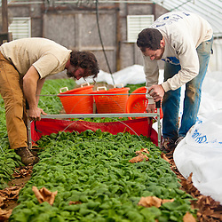 Spinach harvest, Stratham, New Hampshire. Heron Pond Farm greenhouse.  January.