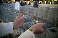 A judge inspecting one of the entrants at the annual Royal Pigeon Racing Association Show of the Year at the Winter Gardens, Blackpool. The two-day show takes place each year in Blackpool and attracts 4000 entries from pigeon fanciers from all over the world. The two-day event attracted 20,000 competitors and spectators.