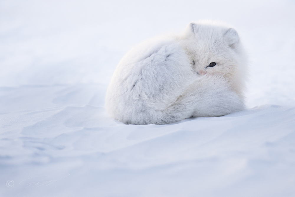 Arctic fox (Alopex lagopus) in winter coat, resting in the snow on Spitsbergen, Svalbard.