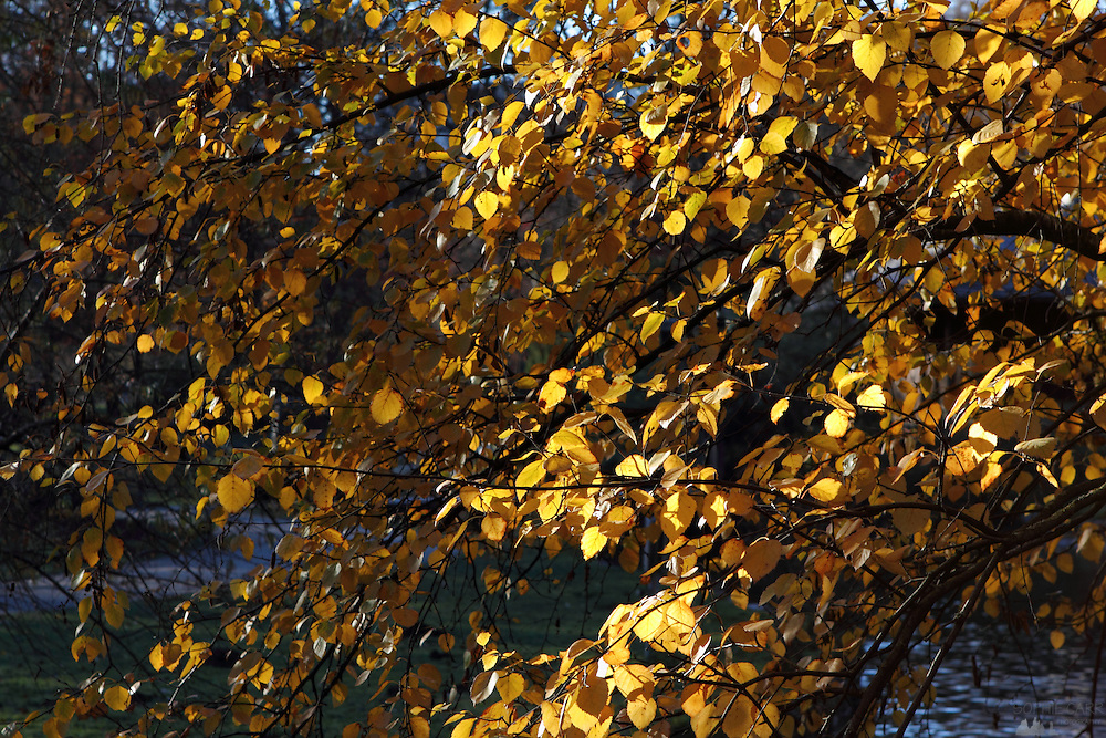 Golden leaves in the sunshine in the Englischer Garten, in central Munich