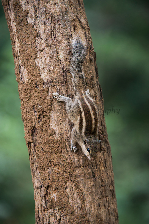 Five-striped palm squirrel or northern palm squirrel (Funambulus pennantii)<br /> National Chambal Sanctuary or National Chambal Gharial Wildlife Sanctuary<br /> Madhya Pradesh, India<br /> Range: India, Nepal, Bangladesh, Pakistan and Iran.