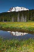 Lassen Peak, a 10,462 foot (3,189 meter) volcano, is reflected in the Paradise Meadow in Lassen Volcanic National Park, California. Lassen Peak is the southernmost volcano in the Cascade Range and last erupted between 1914 and 1917. Numerous common monkeyflowers (Mimulus guttatus) are in bloom in the meadow.