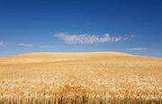 An ocean of barley.