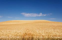 An ocean of barley remeniscent of a fertility godess
