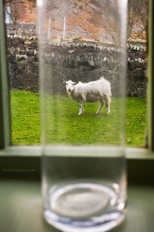 GLYN DAVIES; LLYN; Nant Gwrtheyrn; SHEEP; UK; VILLAGE; Wales; awareness; bottle; captured; humour; window; Welsh Language; Language; Animals;