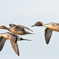three pintail ducks, two drakes, one hen flying fast close up blue sky