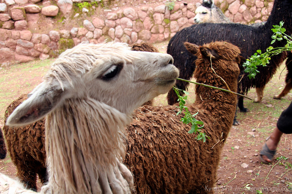 Americas, South America, Peru. Hungry llamas and alpacas fed by visitors to Awana Kancha in the Urubamba Valley.