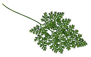 Parsley Fern - Cryptogramma crispa