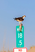 Osprey after catching a striped bass rests on mile marker 18.5 in Corolla on the Outer Banks of NC.