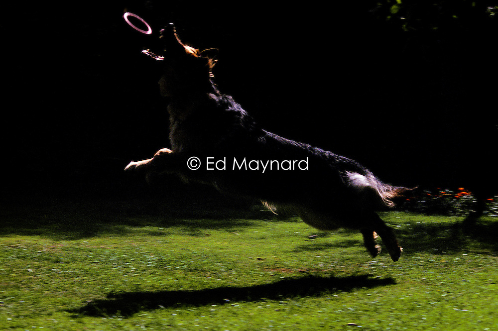German shepherd dog (alsatian), jumping to catch a rubber hoop.