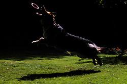 German shepherd dog (alsatian), jumping to catch a rubber hoop.
