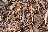 Forest floor: beech seeds, beech capsules, and pine needles. Northeast Harbor, Maine.