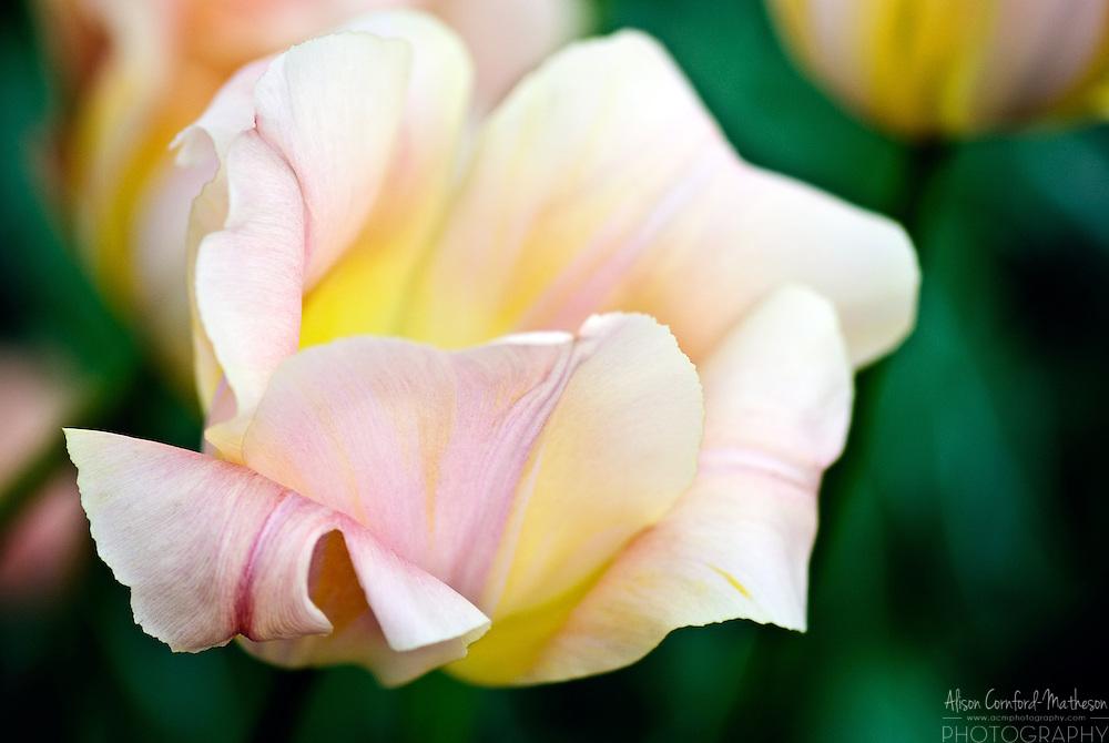 Tulip 'Orange Rosalie' Keukenhof Spring Tulip Gardens, Lisse, The Netherlands.